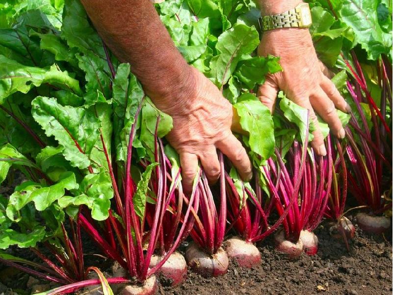 Beetroot Cultivation (Image Credit - Google)
