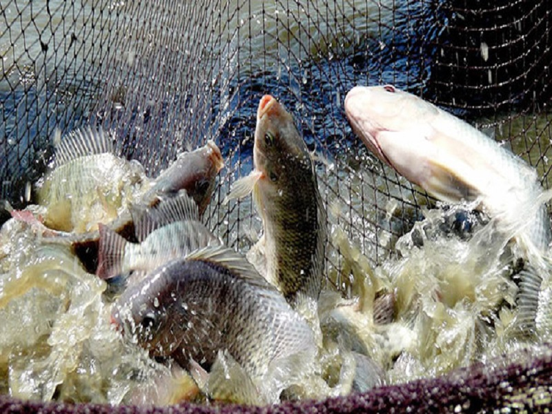 Tilapia fish (image credit- Google)