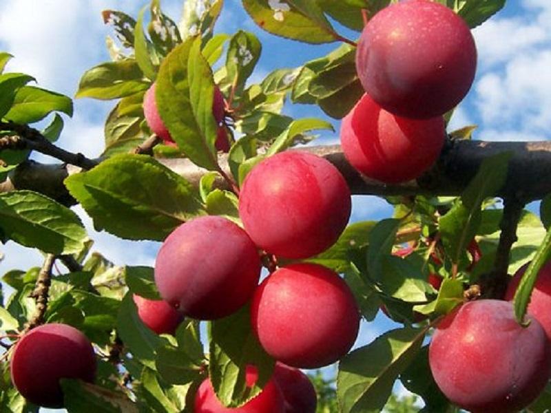 Pulm tree (image credit- Google)