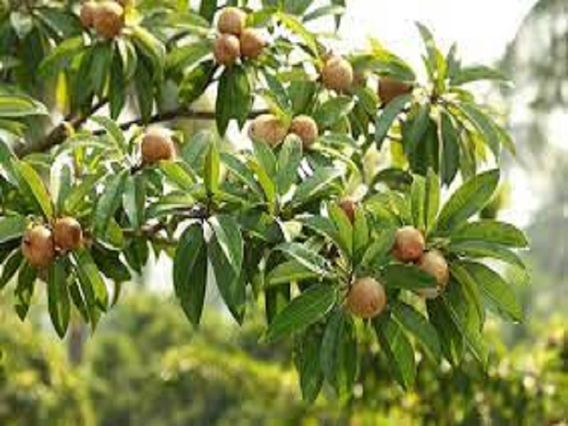 Sapota tree (image credit- Google)