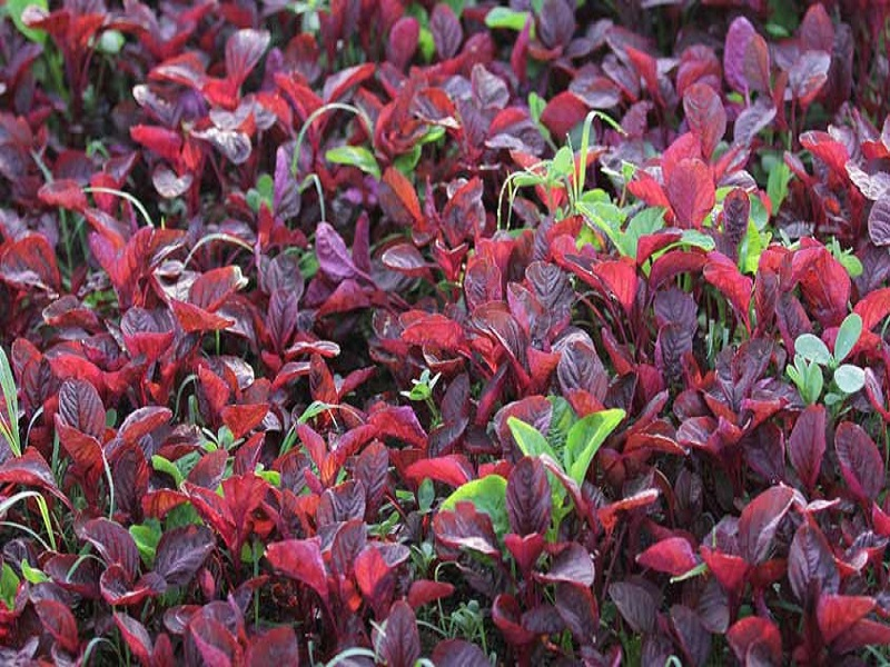 Red spinach (image credit- Google)