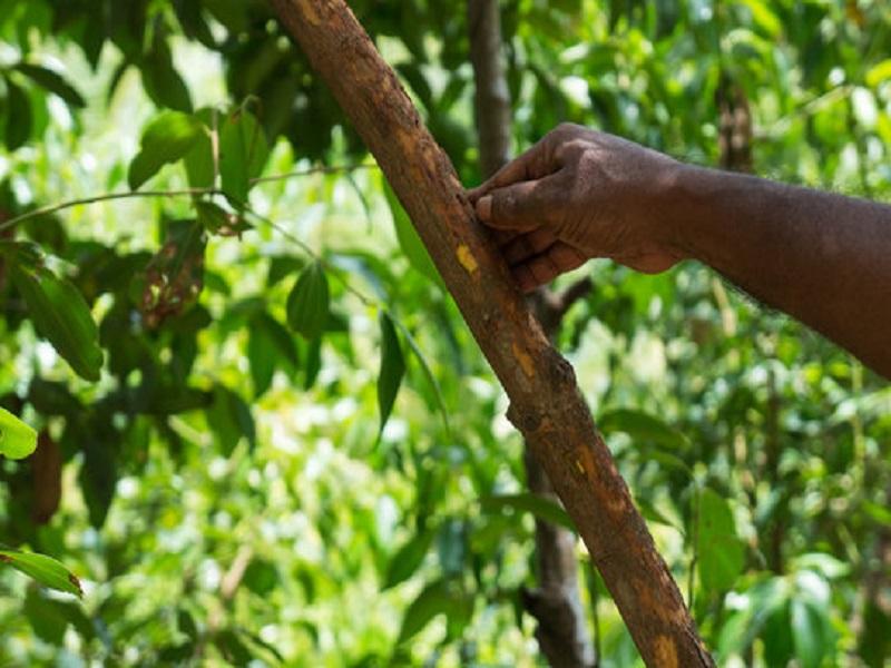 Cinnamon tree (image credit- Google)