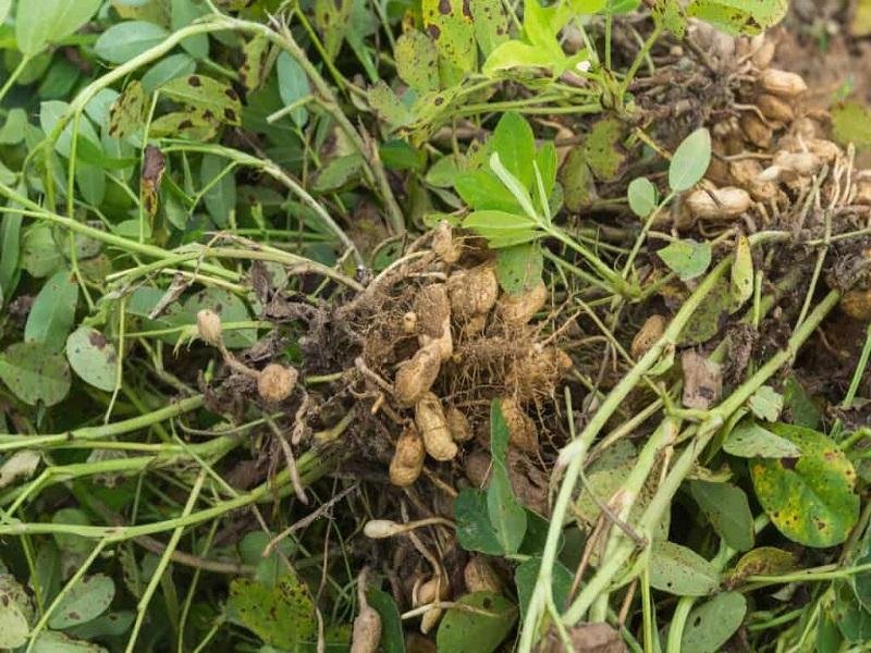 Peanut tree (image credit- Google)