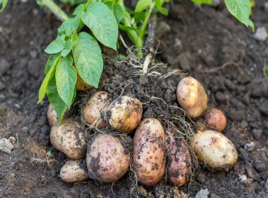 Potato Disease (Image Credit - Google)