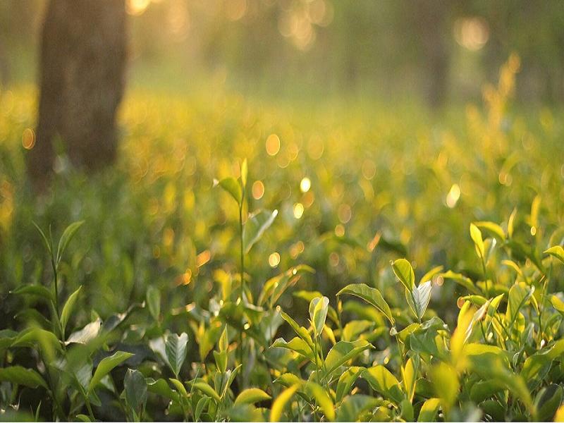 Tea garden (Image Credit - Google)