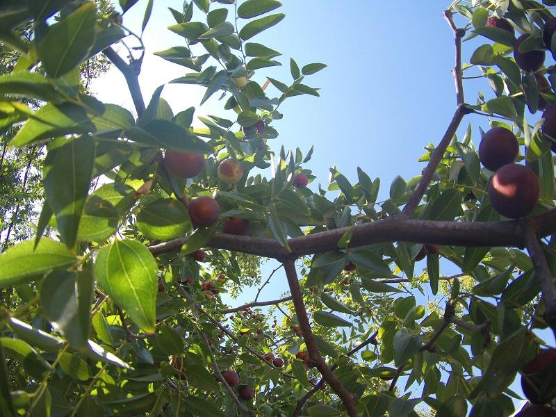Indian jujube tree (image credit- Google)