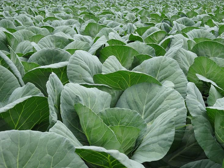 Cabbage farming (image credit- Google)