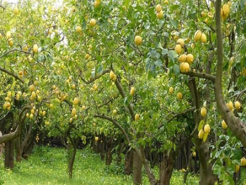 Lemon farming (image credit- Google)