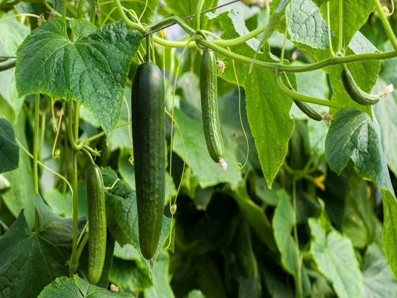 Cucumber farming (image credit- Google)