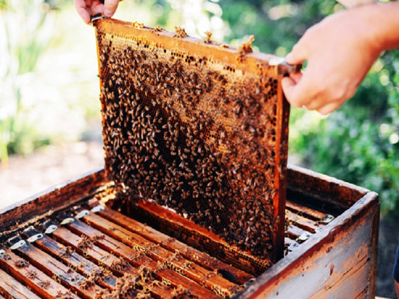 Honey cultivation (image credit- Google)