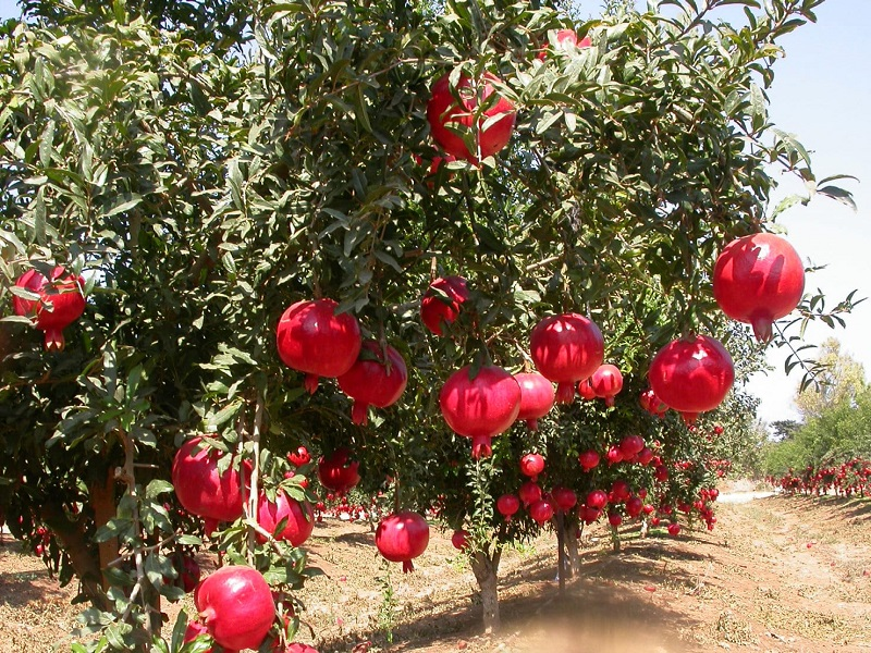 Pomegranate tree (image credit- Google)