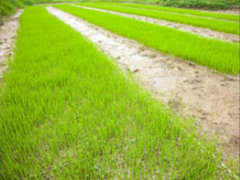 paddy seed bed (image credit- Google)
