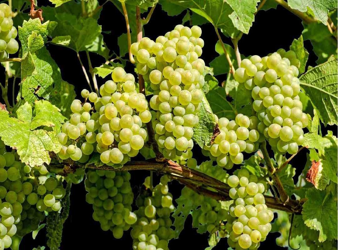 Grape tree (Image Credit - Google)