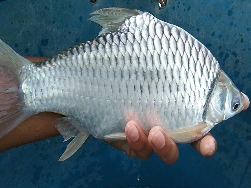 Thai sharpunti fish (image credit- Google)