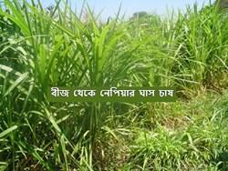 Monsoon Crop Farming - বর্ষায় অতিরিক্ত আয়ের লক্ষ্যে নেপিয়ার ঘাস চাষ, জেনে নিন চাষের পদ্ধতি