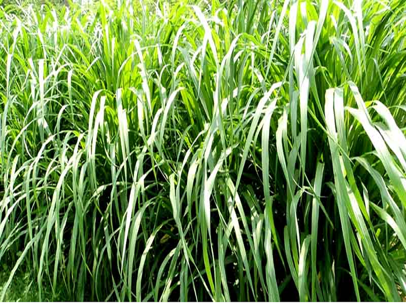 Napiyar Grass (Image Credit - Google)