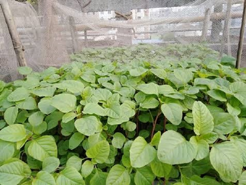 Amaranth farming (image credit- Google)
