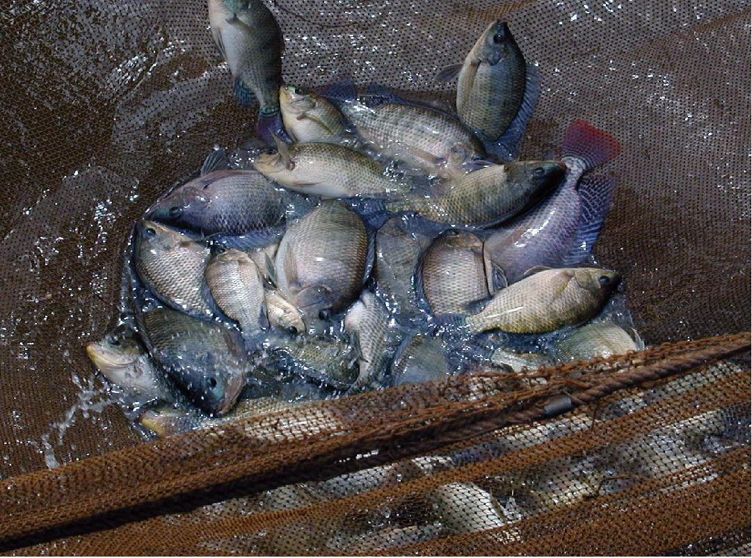 Gift Tilapia Fish (Image Credit -Google)