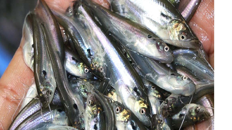 Pabda fish (Image Credit - Google)