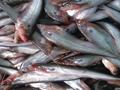 "Pabda Fish Farming - পাবদার মিশ্রচাষে অনন্য উদ্ভাবন ""মাটির কলসি"" কৌশল"