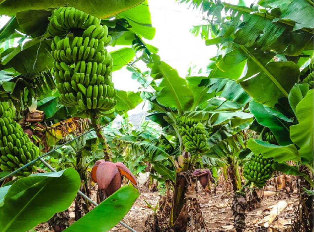 Banana Tree (Image Credit - Google)