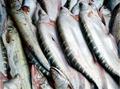 Chital Fish Farming - চিতল পোনা উৎপাদন ও  চাষের লাভজনক পদ্ধতি