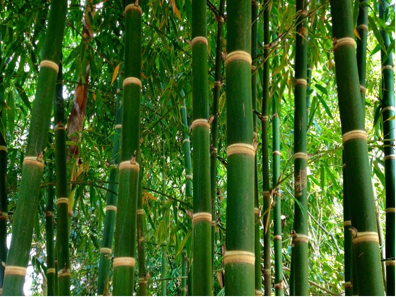 Bamboo Tree (Image C)