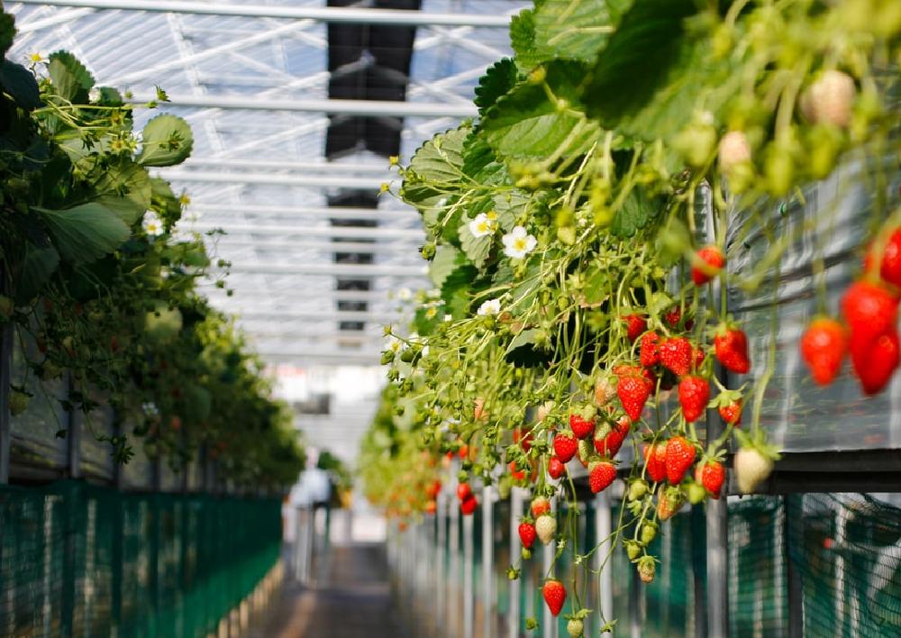 Strawberry Plant (Image Credit - Google)