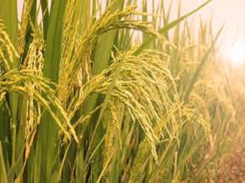 Sri method of paddy farming (image credit- Google)