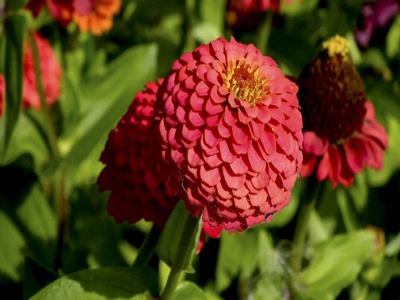 Zinia flower (image credit- Google)