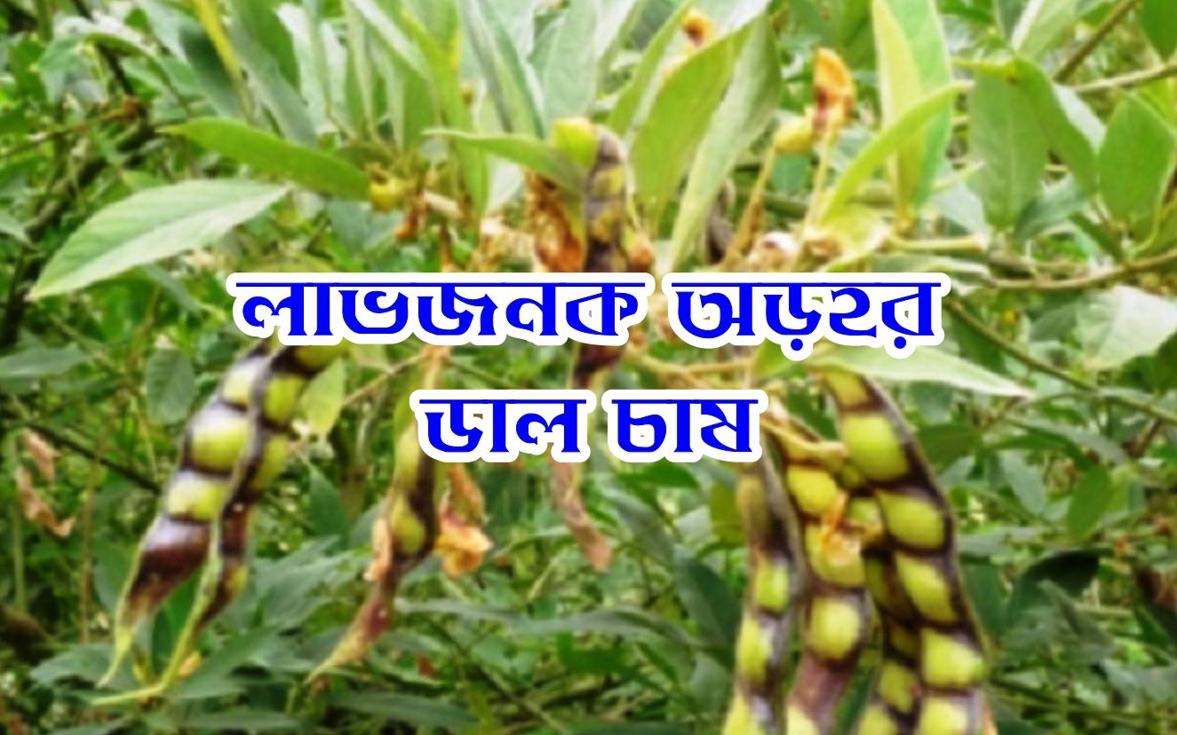 Tur Dal Cultivation guide: তুর বা অড়হর ডাল চাষ করে অধিক উপার্জন করুন