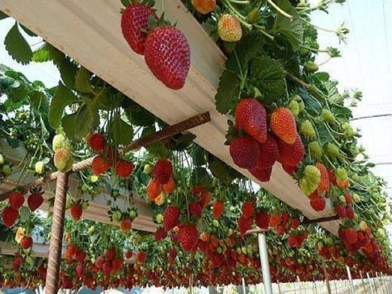 Strawberry tree (image credit- Google)