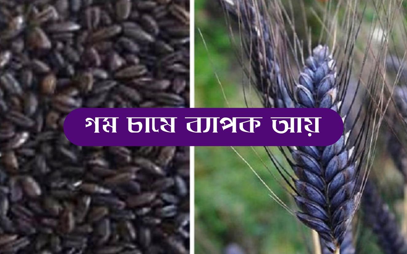Black wheat farming: এই জাতের গম চাষে কৃষকবন্ধুরা পাবেন অধিক ফলন