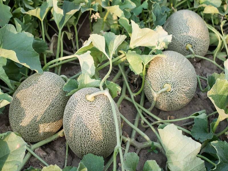 Muskmelon farming (image credit- Google)