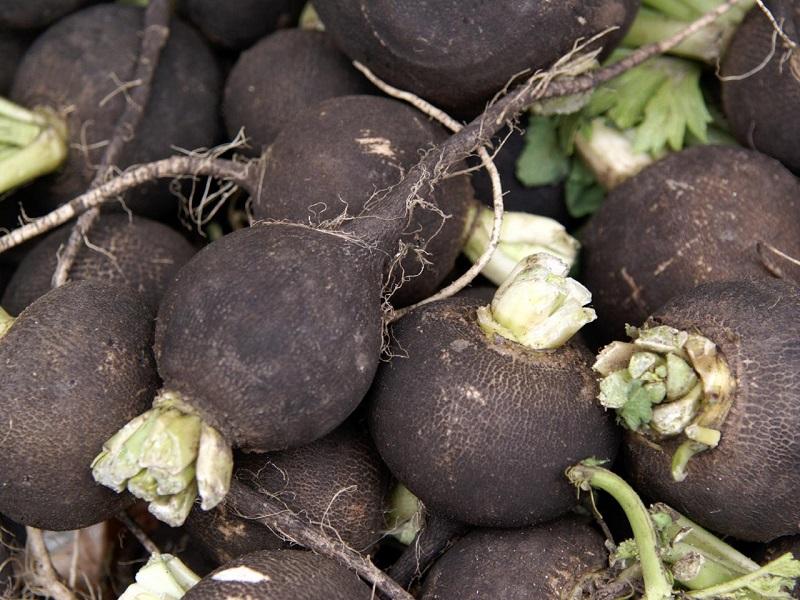 Black radish farming (image credit- Google)