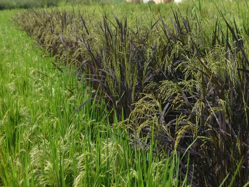 Black paddy farming (image credit- Google)