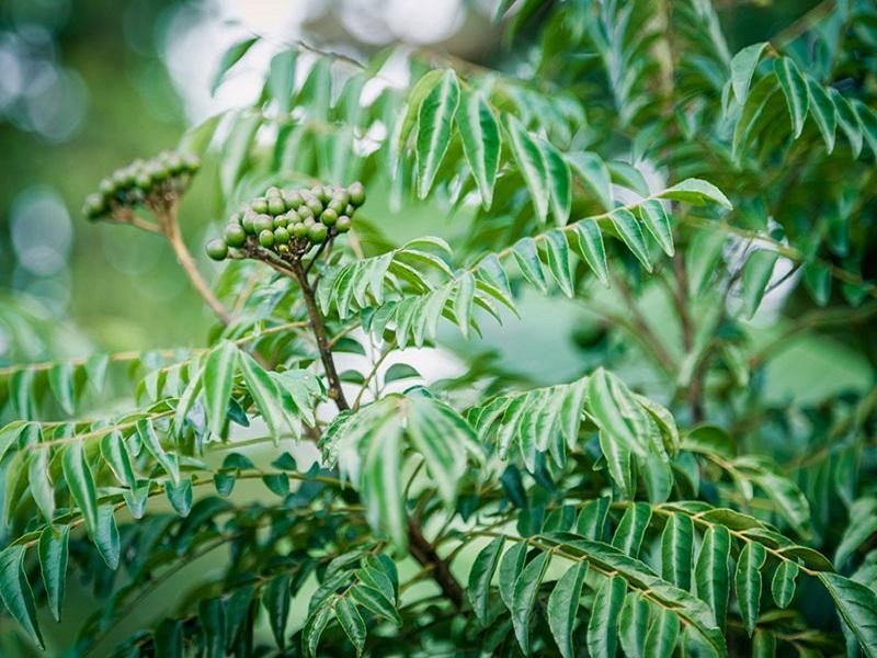 Currey leaves (image credit- Google)