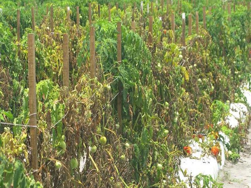 Soil borne diseases of crops (image credit- Google)