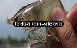 Shrimp diseases management: জেনে নিন চিংড়ির রোগ ও সহজ উপায়ে প্রতিকার ব্যবস্থা