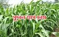 Sudan grass farming method: জেনে নিন সুদান ঘাসের বীজ থেকে ঘাস চাষের পদ্ধতি