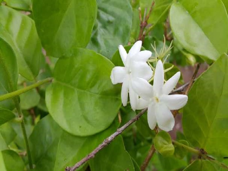 Jasmine tree (image credit- Google)