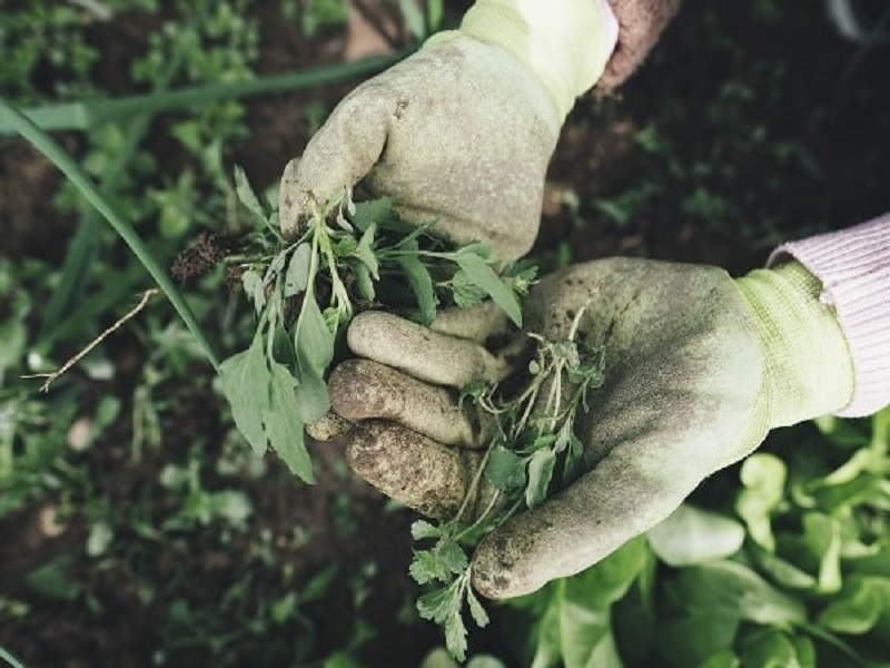 Weed management in farming (image credit- Google)
