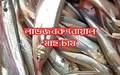 Boal fish farming process: বানিজ্যিক উদ্যোগে বোয়াল মাছ চাষ পদ্ধতি