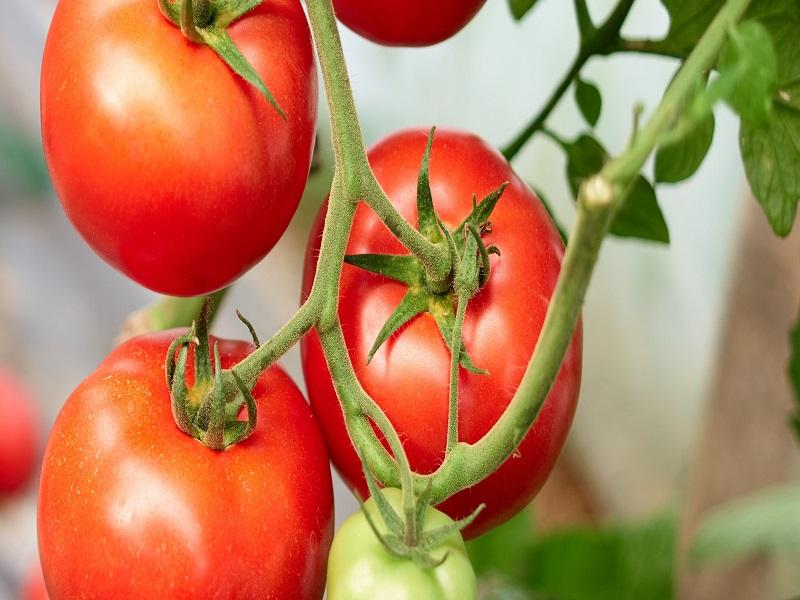 Ruck tomato tree (image credit- Google)