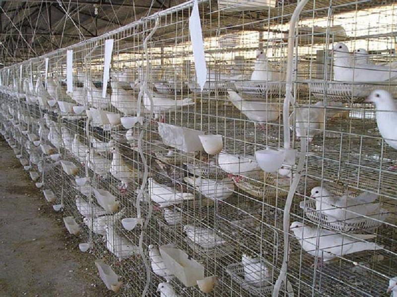 Pigeon farming (image credit- Google)