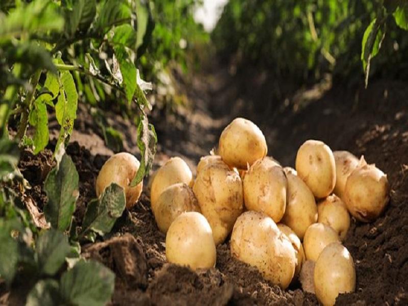 Potato farming (image credit- Google)