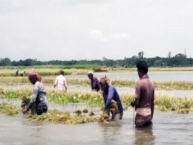 Crops destroyed due to heavy rain (image credit- Google)