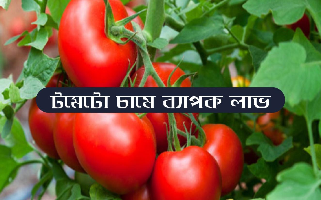 Tomato farming: ভোলায় গ্রীষ্মকালীন হাইব্রিড টমেটো চাষে সাফল্য কৃষকের