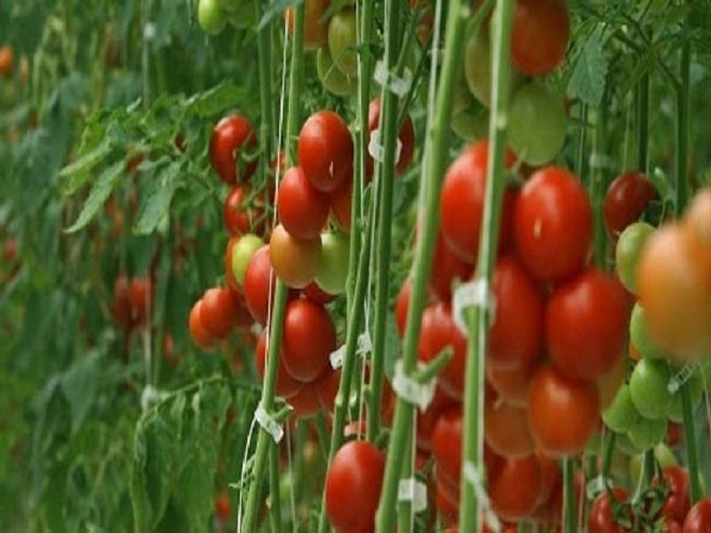 Tomato farming (image credit- Google)