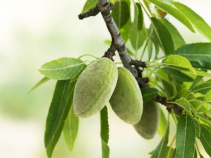Almond tree (image credit- Google)